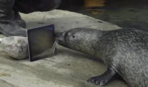SealTime: Zwei Seehunde mit iPads